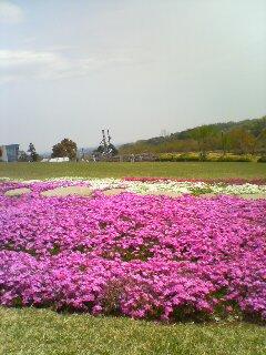 シバザクラ(^o^)