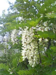 アカシアの花(^o^)