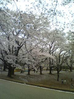桜の下で(^o^)