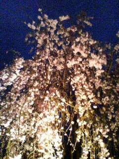 夜桜(^o^)