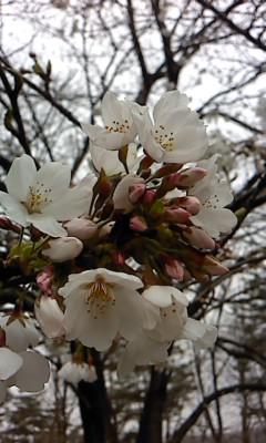 足利市の桜(^o^)