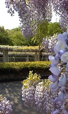 藤の咲く丘(^o^)