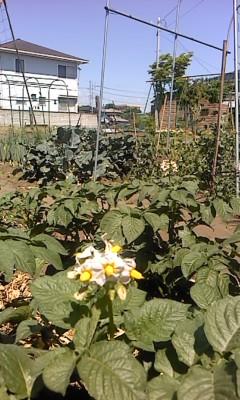 ジャガイモの花(^o^)